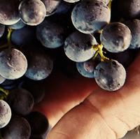 Fetzer grapes.