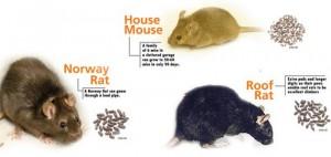 rat-types